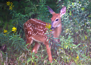 Fawn in Goldenrod