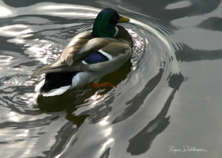 Mallard duck swim alone