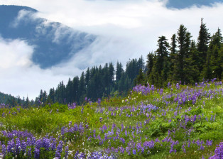 Olympic Mountain Lupine 2